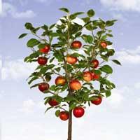 Mini sadnice jabuke