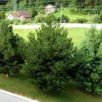 Sadnice ukrasnog siblja i tuja - sadnice bora