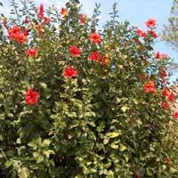 Sadnice ukrasnog siblja - hibiskusa