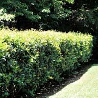 Sadnice ukrasnog siblja i tuja - sadnice ligustruma