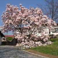 Sadnice ukrasnog siblja i tuja - sadnice magnolije