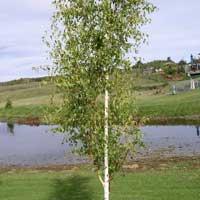 Sadnice ukrasnog siblja i tuja - parkovska breza