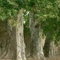 Sadnice ukrasnog siblja i tuja - sadnice platana