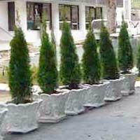 Sadnice ukrasnog siblja i tuja - sadnice tuja za zardinjere