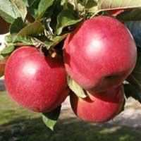 Sadnice jabuke ajdared