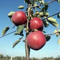 Sadnice jabuke braeburn