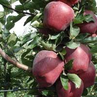 Sadnice jabuke crveni delises chamspur