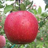Sadnice jabuke fiji