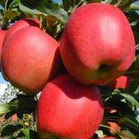 Sadnice jabuke micgala