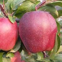 Sadnice jabuke gloster
