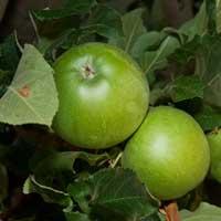 Sadnice jabuke gremi smit spur