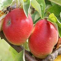 Sadnice jabuke kolacara