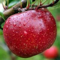 Sadnice voca jabuke melroze