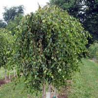 Sadnice ukrasnog siblja i tuja - zalosna breza