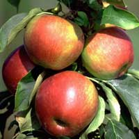 Sadnice stubaste jabuke, sorte Crveno-Zuta