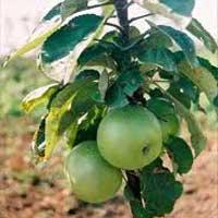 Sadnice stubaste jabuke, sorte Zelena