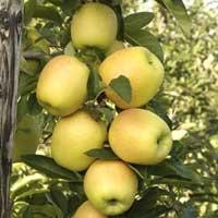 Sadnice stubaste jabuke, sorte Žuta