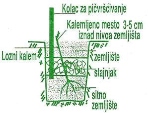Uputstvo za sadnju loznih kalemova