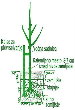 Uputstvo za sadnju voćnih sadnica