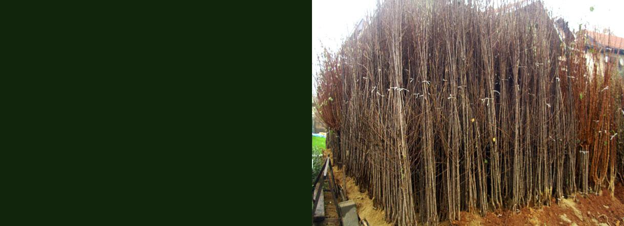 Rasadnik Antic - sadnice voca i loze 2