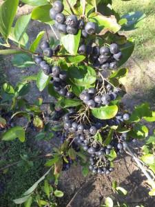 plodovi kalemljene aronije