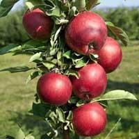 Sadnice stubaste jabuke, sorte Crvena
