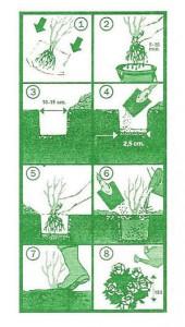 Uputstvo za sadnju sadnica ruža