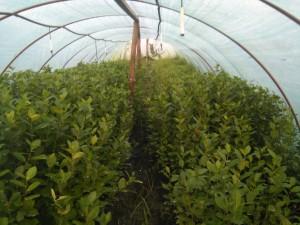 aronija sadnice