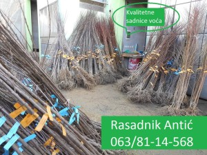 rasadnik antic