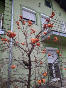 Sadnica kaki jabuke