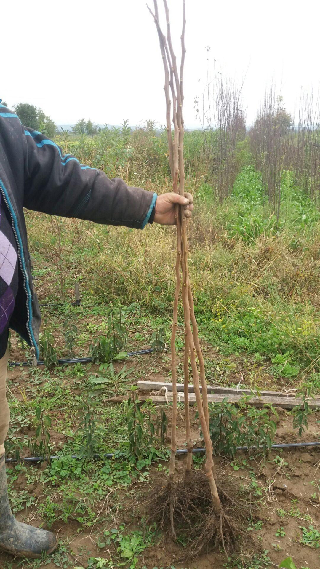 Sadnica japanske jabuke