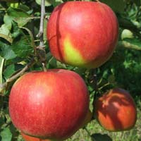 jabuka jablanka