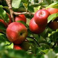 jabuka krstovaca