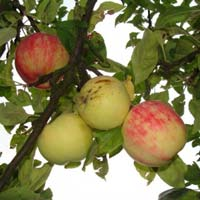 jabuka petrovaca
