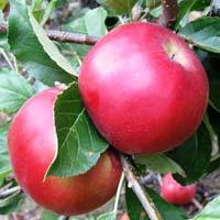 jabuka sumatovka