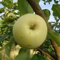 jabuka tvrdovka