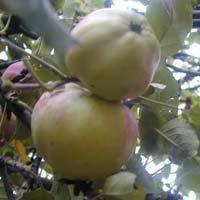 jabuka zebicanka