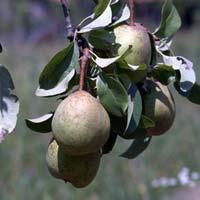 kruska arapka
