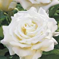 sadnice ruža porcelina